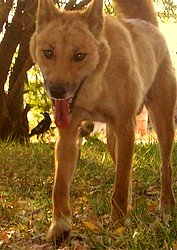 Friendly resident dingo at Mt. Hart