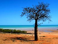Boab tree on broome beach