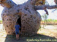 Prison Boab Tree near Derby