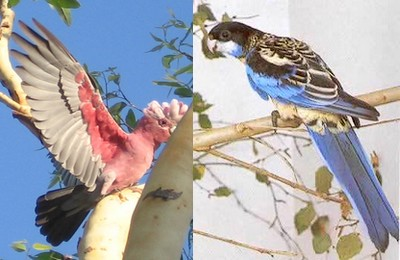 Pink Galah and Northern Rosella