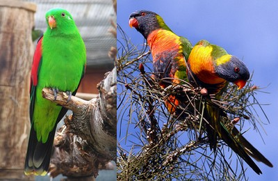 Red-winged Parrot and Rainbow Lorikeets