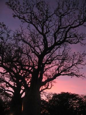 Boab at sunset