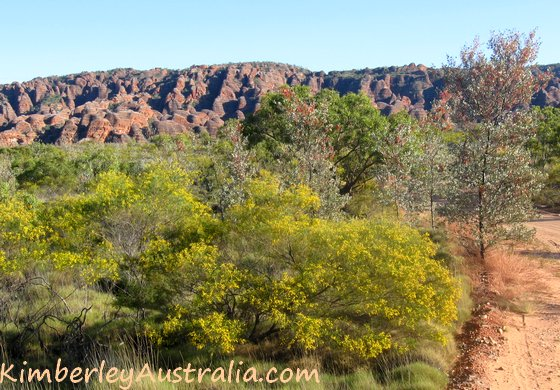 Acacia and grevillea flowers in front of the Bungles