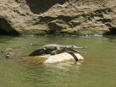 Freshwater crocodile at Windjana Gorge