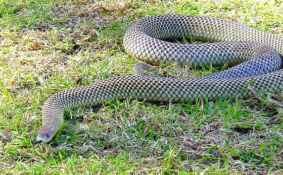 Mulga or King Brown Snake
