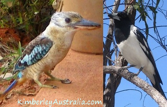 Blue-winged Kookaburra and Pied Butcherbird