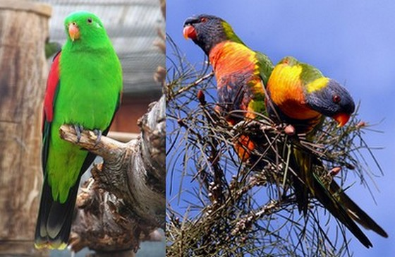 Red-winged Parrot (Wikimedia Commons) and Rainbow Lorikeets (by Yaroslavd)