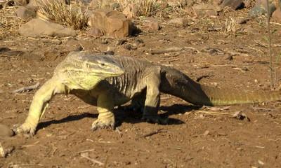 A huge monitor lizard