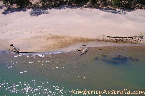 Two saltwater crocodiles