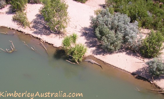 Another saltwater crocodile