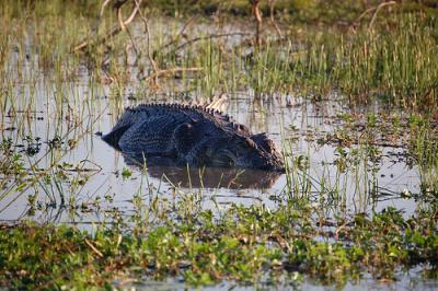 Large saltwater croc in a swamp