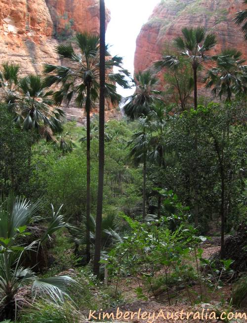 Valley filled with Bungle Bungle fan palms.