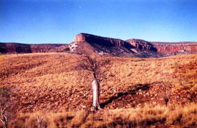 A Boab tree in the shade of the beautiful Cockburn Ranges