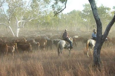 Mustering cattle at Charnley River