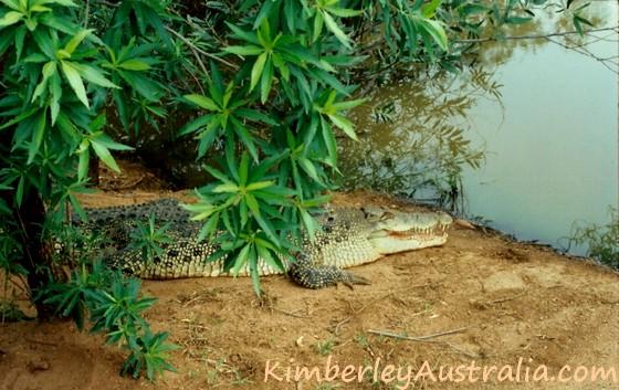 Kimberley Saltwater Crocodile