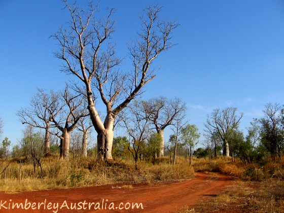 Boabs along a Kimberley track