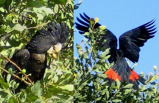 Red-tailed Black Cockatoo.