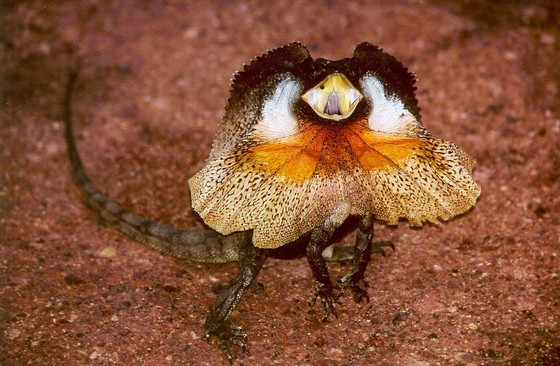 Agitated Frilled-neck Lizard