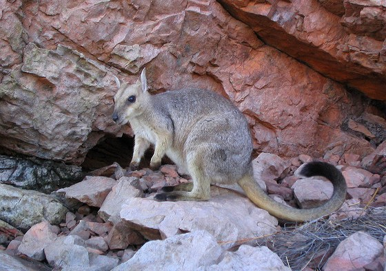 Rock Wallaby at Lake Argyle