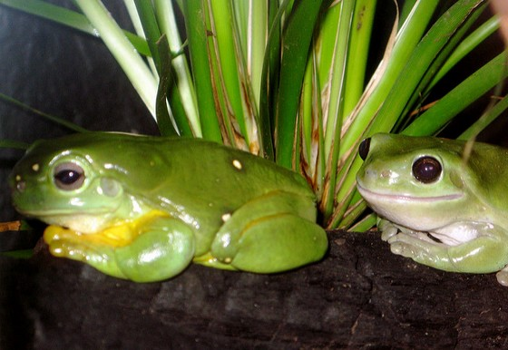 A splendid and a common green tree frog.