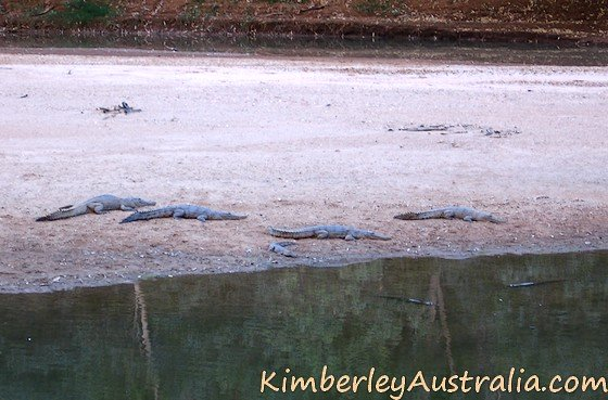 Freshwater crocodiles at Windjana Gorge